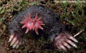 Real Mole