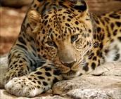 Amur Leopards