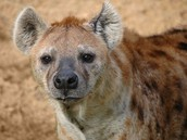 spotted hyenas are cool!