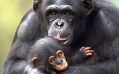 A Mom and Baby chimpanzee