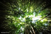 Euclyptus Forest