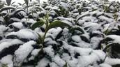 茶樹在雪中展現活力