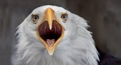 How big is the Bald  Eagle