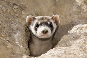 Black footed ferrets live in old prairie dog holes