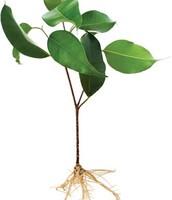 roots/stem