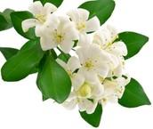 Jasmine Flower Photos