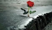 rose that grew from the concrete