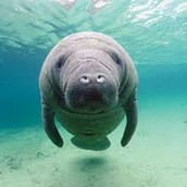 What are Manatees?