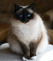 Seal Point Birman