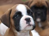 This is a boxer