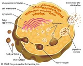 lysosome and peroxisome