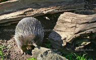 Echidna near log