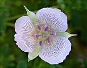 Alkali Mariposa Lily