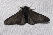 Black Bodied Peppered Moth