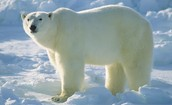 What are Polar Bears