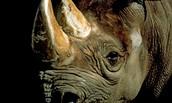 Characteristic. About Black Rhino.