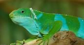 Fijian Iguana