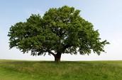 Producer/oak tree