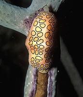 Flamingo Tongue Snail
