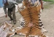 What People Do With Tigers