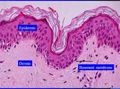Epithelial Tissue #1