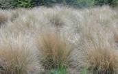 Tussock Grasses.