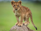 Lion Cub (Baby)