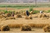 People harvesting crops