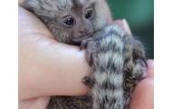 Baby Marmoset Wrapped Around Fingers