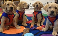 Guide Dogs in Training