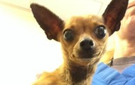 Congaree -- 3 year old Chihuahua -- 3 lbs