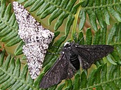 All About The Peppered Moth or Darwin's Moth