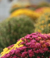 Fall Mums in the CHS Greenhouse