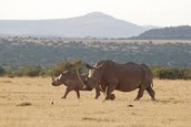 White Rhinos stampede on the dusty earth of Asia