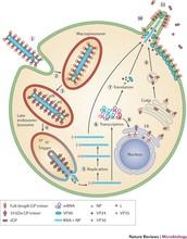 How does Ebola Replicate