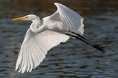 http://www.grahamowengallery.com/photography/great_egrets.html
