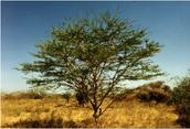 Senegal Gum Acacia