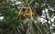 Plamyra Tree