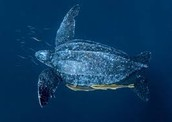 All about leatherback turtles