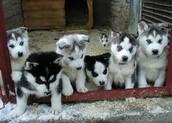 cute huskies