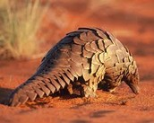 Giant Ground Pangolin
