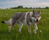 Wolf Dog Background/Information