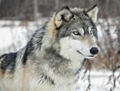 gray wolfs