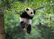 Just a Giant panda having a good time in its habitat