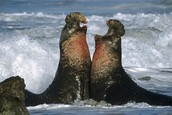 southern elephant seals fighting to claim it's territory