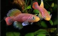Freshwater killfish