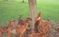 Middle Aged Redbone Coonhounds