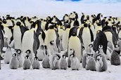 Group of Emperor Penguins