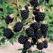 Symbol 2: Blackberries