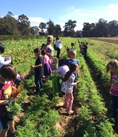 Picking Bunches of Carrots!